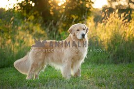 gorgeous golden retriever standing in front of tall grasses