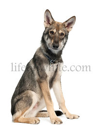 Saarloos Wolf Dog puppy (5 months old)