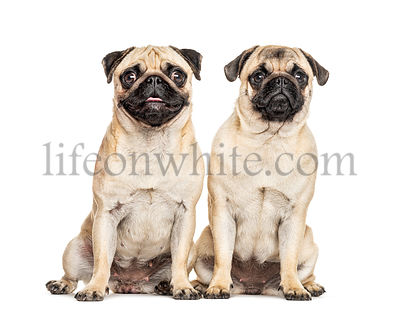 Two Pugs sitting together, dog, isolated on white