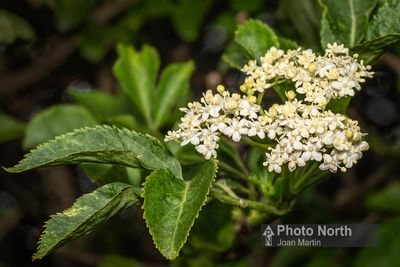 ELDER 05A - Elderflowers