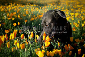 Black Shepherd Lab Mutt in Field of Wildflower Poppies Sniffing Flowers