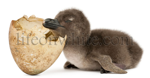 Young African Penguin with hatched egg, Spheniscus demersus