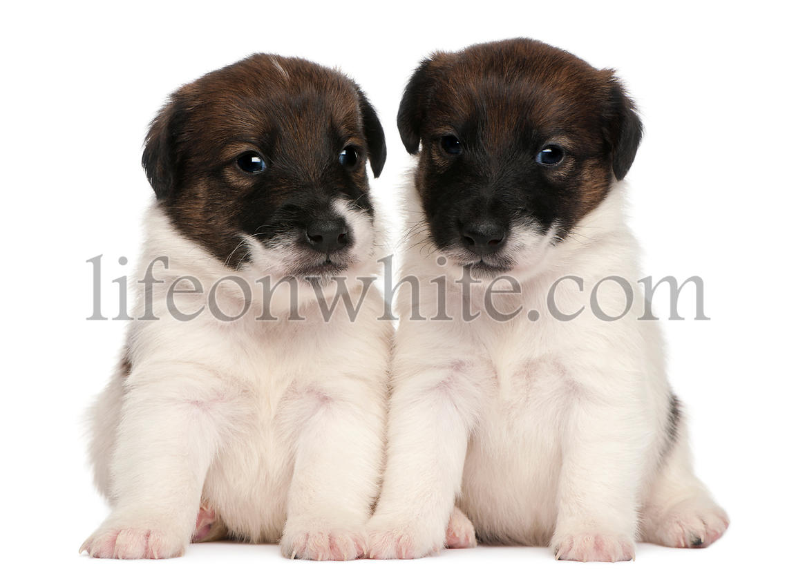 Two Fox Terrier puppies, 1 month old, sitting in front of white background