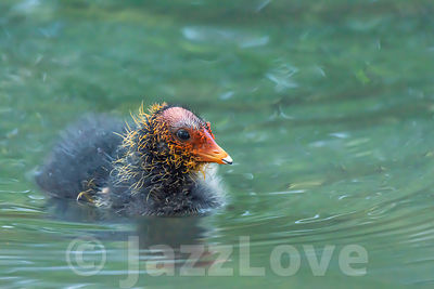 Cute coot chick swimming in pond, in springtime.