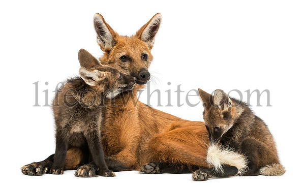 Maned Wolf mom and cubs cuddling, Chrysocyon brachyurus, isolated on white