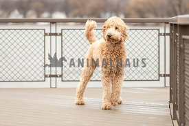 A golden doodle on a lake overlook