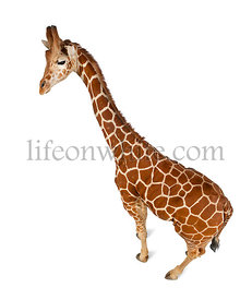 High angle view of Somali Giraffe, commonly known as Reticulated Giraffe, Giraffa camelopardalis reticulata, 2 and a half yea...