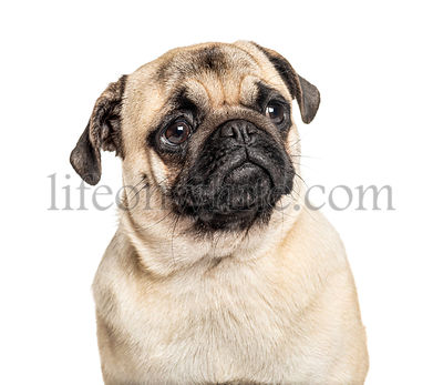 Headshot of a Pug, isolated on white, isolated on white