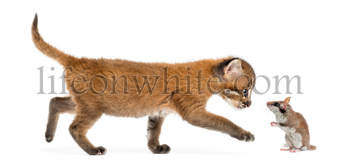 Side view of an Asian golden cat walking towards a garden dormouse, isolated on white