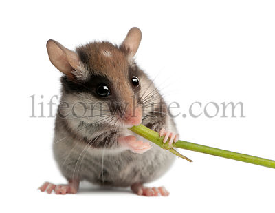 Garden Dormouse, Eliomys quercinus, 2 months old, holding and eating stem in front of white background