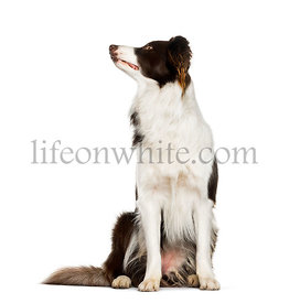 Looking up Border Collie sitting against white background