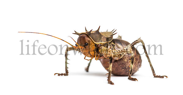 Side view of a Soldier Cricket, Cosmoderus sp. isolated on white