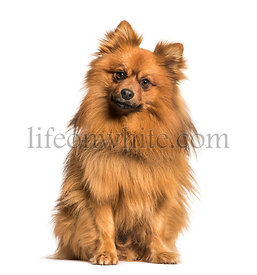 Keeshond dog looking at camera against white background