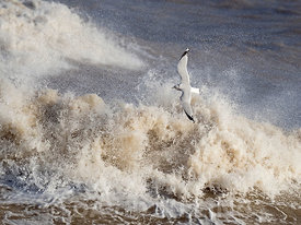Common Gull  Larus canus flying over rough seas North Norfolk January