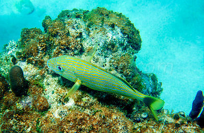 Saint-Barthélemy Blue striped grunt