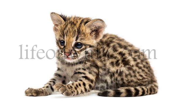 Oncilla lying, Leopardus tigrinus, 5 weeks old, isolated on white