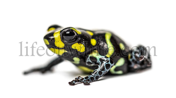 Spotted poison frog, Spotted poison frog, isolated on white