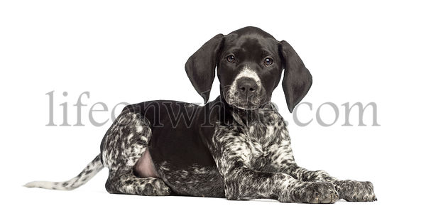 German Shorthaired Pointer, 10 weeks old, lying against white background
