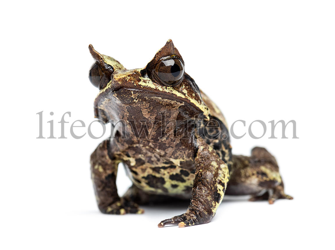 Long-nosed horned frog facing at the camera, Megophrys nasuta, isolated