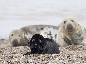 A very rare melanistic Grey Seal Halichoerus grypus pup Horsey Norfolk. Rarely photographed less than one in 400 pups born an...
