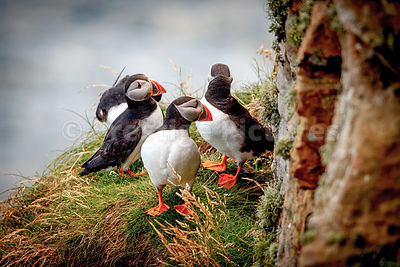 Four puffins standing on grassy ledge