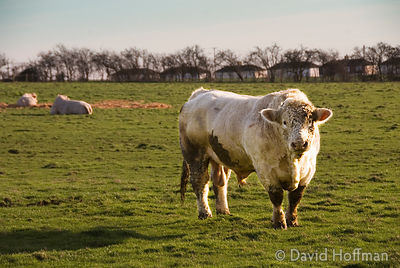 Charolais bull in field, Halstow Marshes, Kent 2007. Charolais bull in field, Halstow Marshes, Kent 2007.
