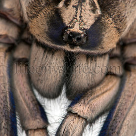 Close-up of Tarantula spider, Poecilotheria Metallica, in front of white background