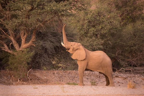 African Elephant Feeding from tree in Riverbed