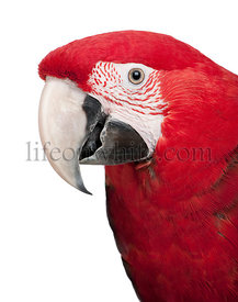 Green-winged Macaw - Ara chloropterus (18 months)