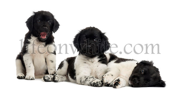 Group of Stabyhoun puppies resting in a row, isolated on white