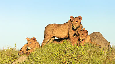 Three Six Months Old Cubs Resting