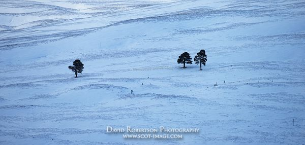 Image - Remnants of the Caledonian Forest, Cairngorms, Winter Panoramic