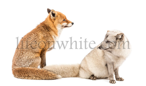 Red Fox, Vulpes vulpes and Arctic Fox, Vulpes lagopus, sitting, isolated on white