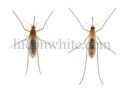 Common house mosquito - Culex pipiens