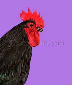 Close-up of an Australorp chicken against purple background
