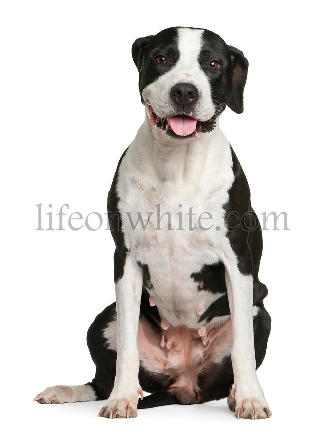 Argentine dogo, 6 years old, sitting in front of white background