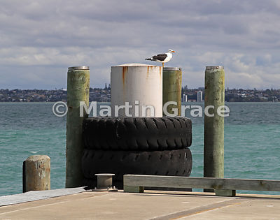 Southern Black-Backed Gull (Larus dominicanus dominicanus) on the pier at Rangitoto Island, Hauraki Gulf, Auckland, South Isl...