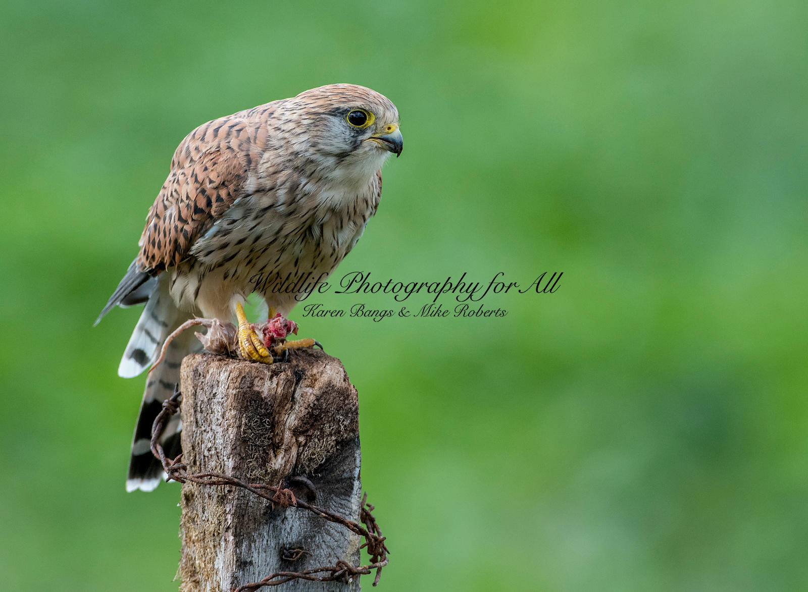 Female Kestrel - Mike Roberts
