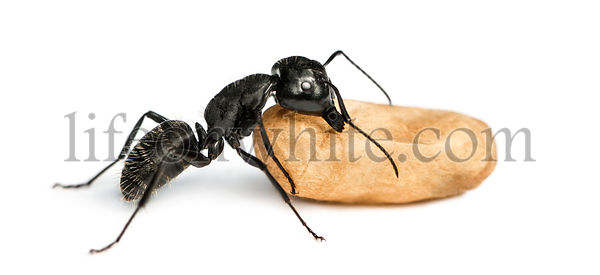 Carpenter ant, Camponotus vagus, carrying an egg