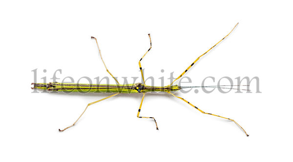 Yellow Flying Stick, Necroscia annulipes, phasma, in front of white background