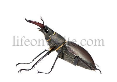 Side view of Male European Stag beetle, Lucanus cervus, against white background, studio shot