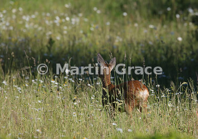 Beyond the garden wall: Roe Deer doe (Capreolus capreolus) seen from the rear in a South Lakeland grazing meadow, Lake Distri...