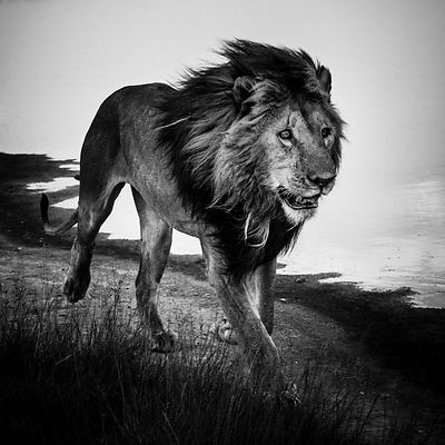 5286-Lion_walking_alone_1_Kenya_2013_Laurent_Baheux