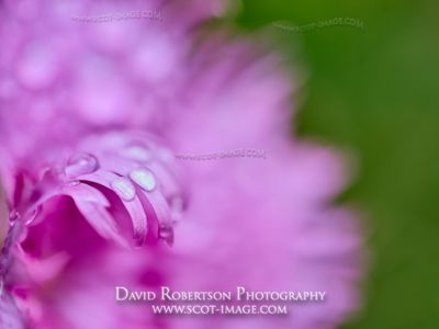 Prints & Stock Image - Water drops on Feathered Pink, Dianthus plumaris.