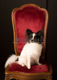 Long Hair dog sits on red velvet chair in studio