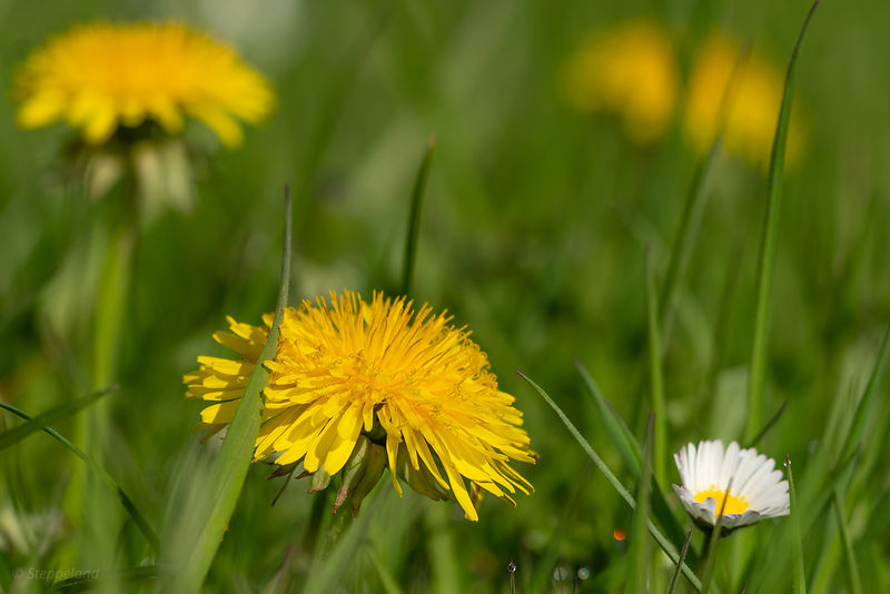 Dandelions and a daisy in the lawn