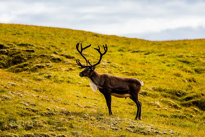 Reindeer_in_south_east_Iceland_emm.is-3