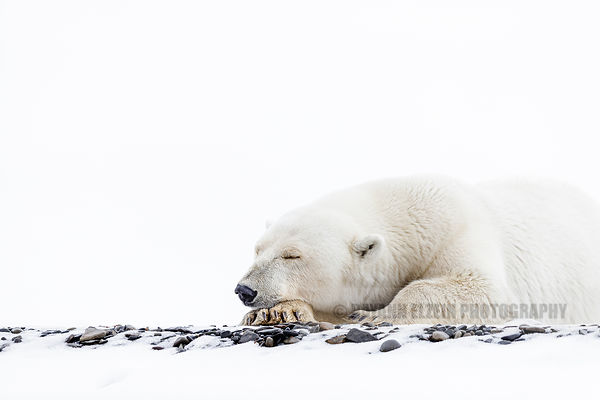 Female polar bear lying in the snow in Svalbard, Norway