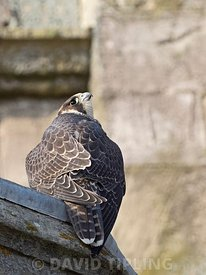 Peregrine Falcon, Falco peregrinus, fledged young around Cromer Church, North Norfolk, summer