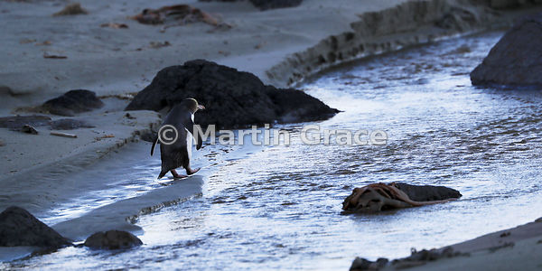 2:1 format image of a Yellow-Eyed Penguin (Megadyptes antipodes) about to follow a channel across the beach to the sea, Otago...